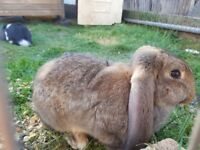 Giant French Lop Baby