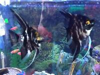 Two large angelfish in black