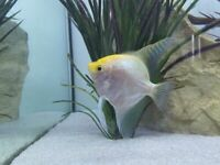 4-5 Inch Angel fish