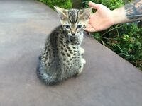 Male Brown Spotted Bengal Kittens x2