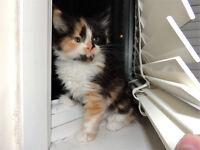 Lovely Siberian x kittens looking for homes