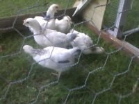Two male and two female 6 week old light sussex chickens