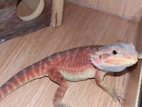 Young male red leatherback bearded dragon and set up for sale