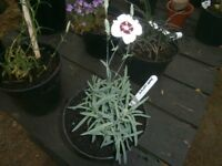 "DIANTHUS ""DAINTY DAME"" PERENNIAL GARDEN/PATIO FLOWERING PLANT"