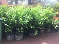 Healthy Prunus Laurels, Quick Growers Great for Screening. In large pots