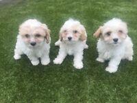 Cavachon f1 puppys