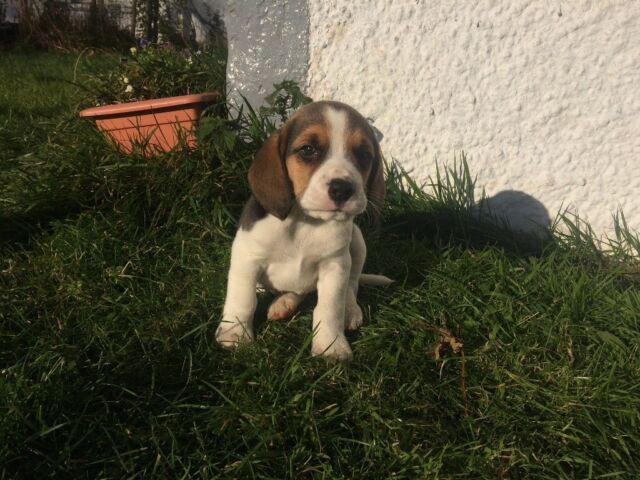Pedigree Beagle Puppies In Peebles Scottish Borders Gumtree