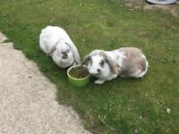 **FREE** 2 x Female rabbits