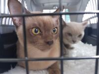 2 Bermese Kittens, 16Wks. Need homing...