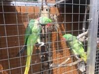 Pair of Alexandrian Ringnecks Parrots