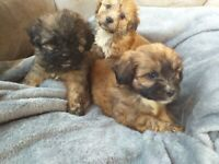 Lhasa apso x pups