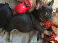 Blue and tan French bulldog boy at at dd kyky ready from the 20th October