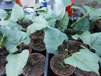 HEALTHY RUNNER BEAN PLANTS READY NOW 6 FOR £2