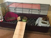2 young guinea pigs + cage, run and all accessories looking for a loving home!