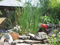Pond plants for sale