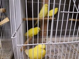 4 baby Yellow (Lutino)