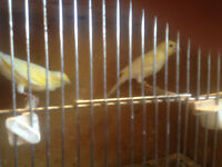 canary s for sale