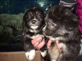 Border collie x poodle poodle