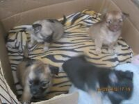 4 BEAUTIFUL LONG HAIRED CHIHUAHUAS FOR SALE