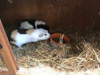 2 male guinea pigs for sale with hutch&cover