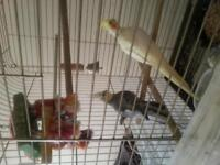 PAIR OF COCKATIELS FOR SALE