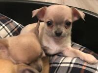 Chihuahua puppies x3