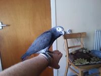 African grey Timneh and large cage and toys