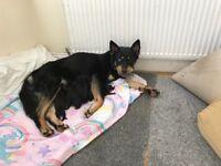 Rottweiler/Husky puppies