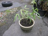 Bamboo Plant in Circular Earthenware Pot Weymouth