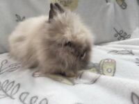 Fluffy Lionhead RabbitsReady Now!!!