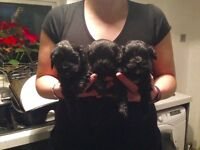 SHIH-POO PUPPIES FOR SALE