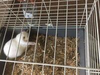 White rabbit aged 9 weeks with blue eyes