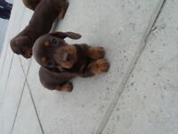miniature dachshund girl puppy chocolate x tan