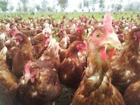 Egg Laying Chicken 1 year old