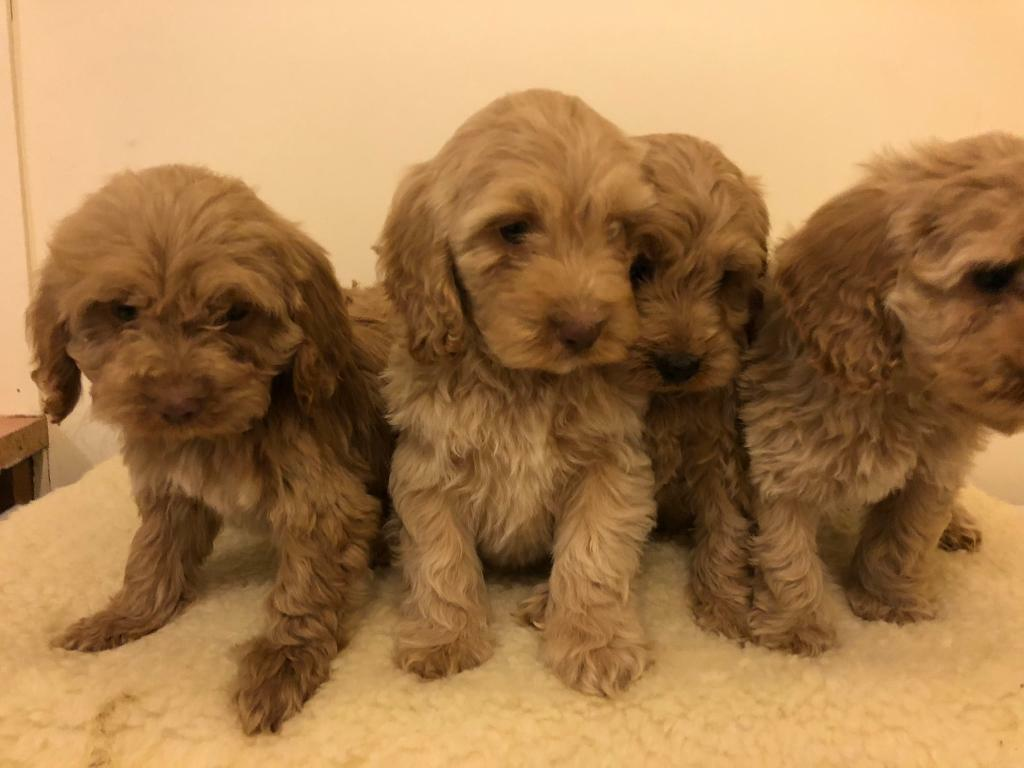 Apricots Cockapoo f1 puppy girls and boys | in Staplehurst, Kent | Gumtree