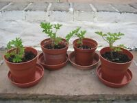 4 Young Lemon Geranium Plants - £3.00 each or 4 for £10.00