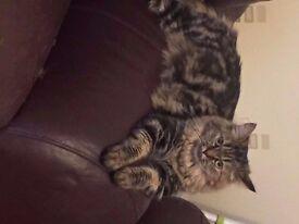 Beautiful Female Persian/Ragdoll Cat