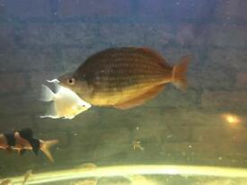 Large rainbow fish