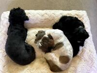Toy Shih-poo Puppies F1 For Sale (boys)
