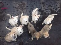 ALUSKY PUPPIES Ready to go in 2 WEEKS, Full Vac, Micro Chipped, Flead, Wormed inc tapeworm