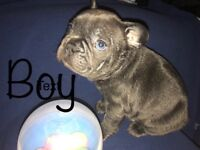 French blue bull dog puppies