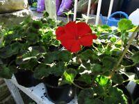 Final Plant Sale. Various vegetables, tomatoes & flowers