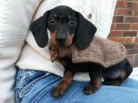 Gorgeous miniature dachshund boy