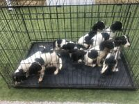 Sprocker Spaniel Puppies For Sale