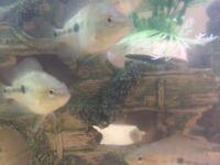 Midas cichlid for fish tank aquarium kof wembley