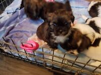 Lhaso apso kc registered puppies for sale