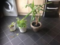 Set of 3 Plants in Pots