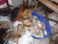 (1 left) Beautiful Pomeranian X puppy