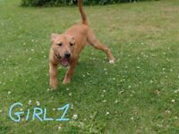 17 week two staffy puppies boys and one girl left from a litter of 8 still looking forever homes