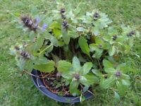 Very Pretty Blue Veronica Plant in Large Black Pot